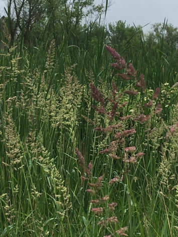 grasses gone to seed--love the purple red color