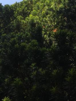 sun on conifer