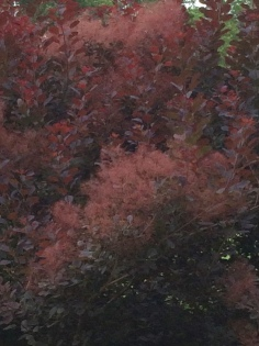 Eurasian smoke tree
