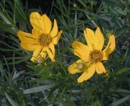 http://www.illinoiswildflowers.info/