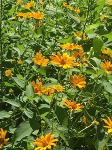 rosinweed native illinois prairie wildflowers