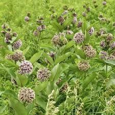 milkweed in prairie